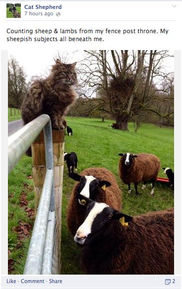 cat shepherd humor update
